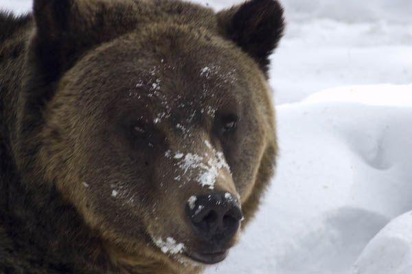 grizzly_bears_nov_11-13