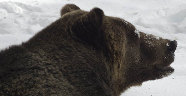 grizzly_bears_nov_11-14
