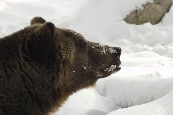 grizzly_bears_nov_11-16