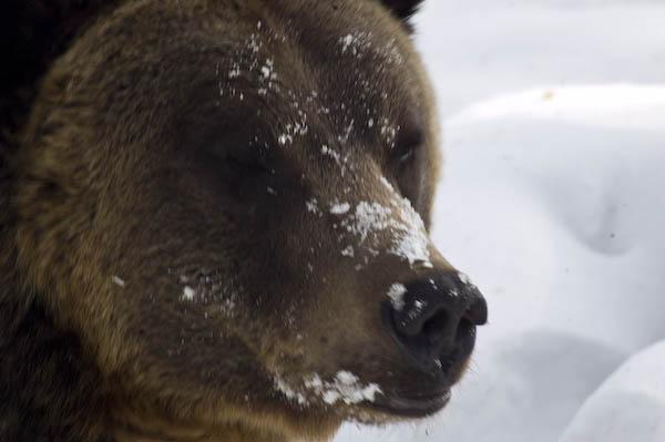 grizzly_bears_nov_11-17
