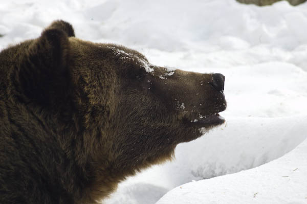 grizzly_bears_nov_11-8
