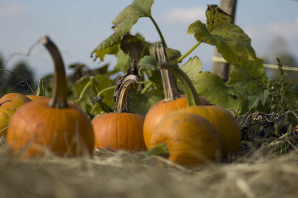 pumpkin_patch_oct_11-42