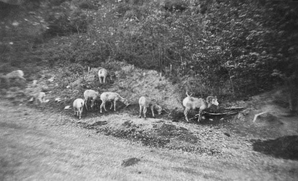 Wild Mountain Sheep