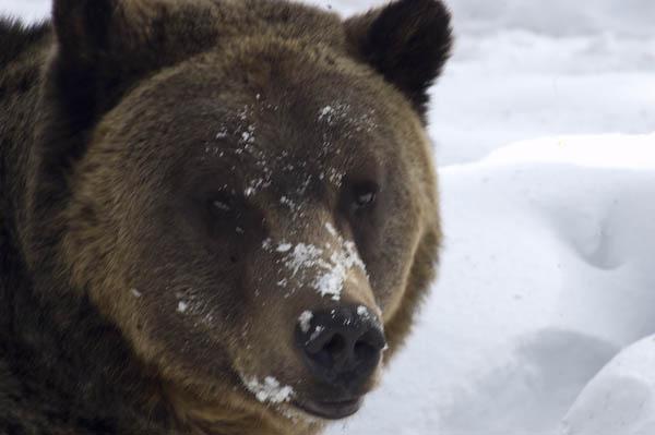 grizzly_bears_nov_11-13