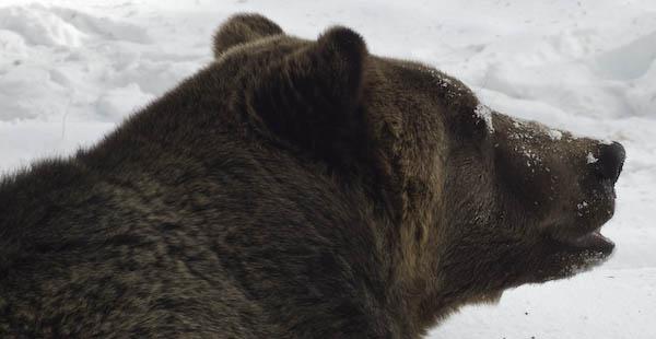 grizzly_bears_nov_11-14