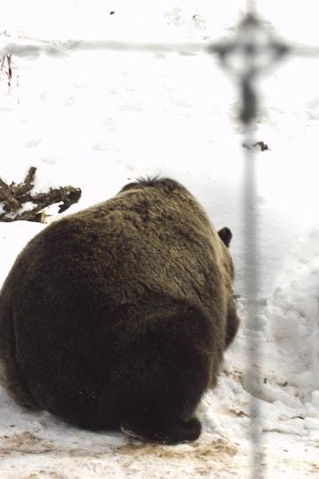 grizzly_bears_nov_11-15