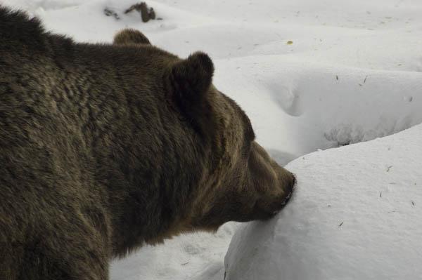 grizzly_bears_nov_11-5