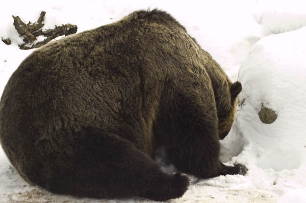 grizzly_bears_nov_11-6