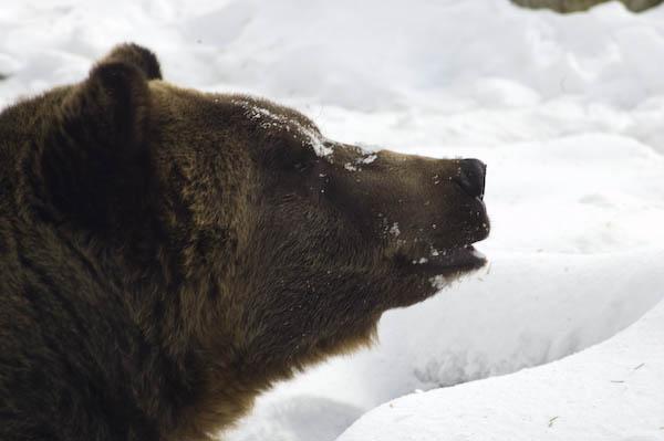 grizzly_bears_nov_11-8