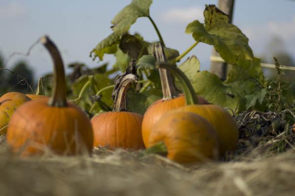 pumpkin_patch_oct_11-42
